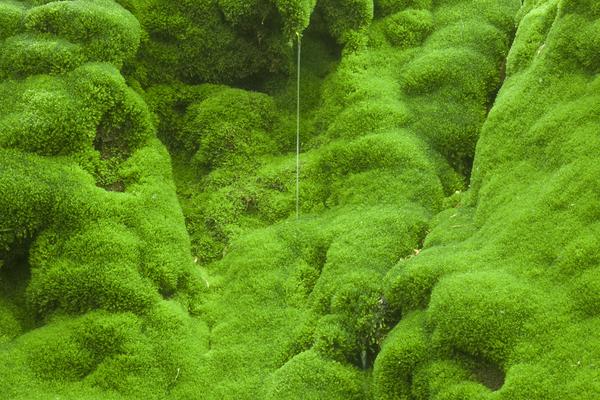 オログラ沢の苔に滴る