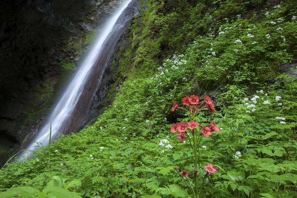 クリンソウ咲く醤油樽の滝