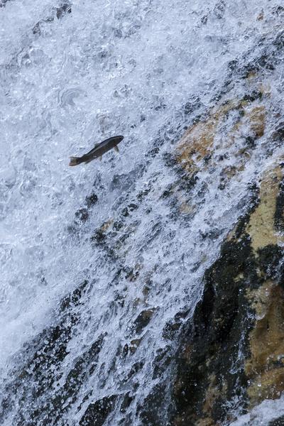 ハーモニカの滝を飛ぶ魚