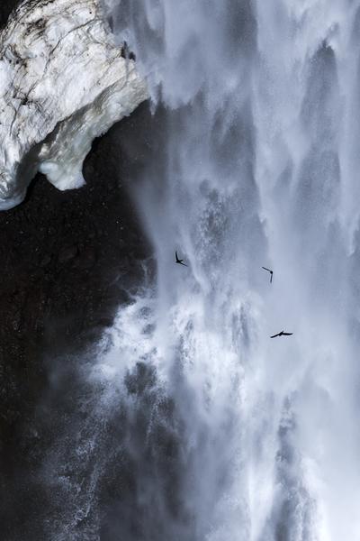 残雪の瀑布に舞うイワツバメ