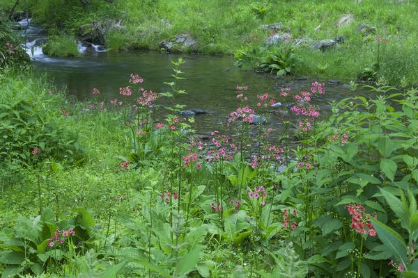 長野県伊那市、入笠山を源とする小黒川に咲くクリンソウ(九輪草)
