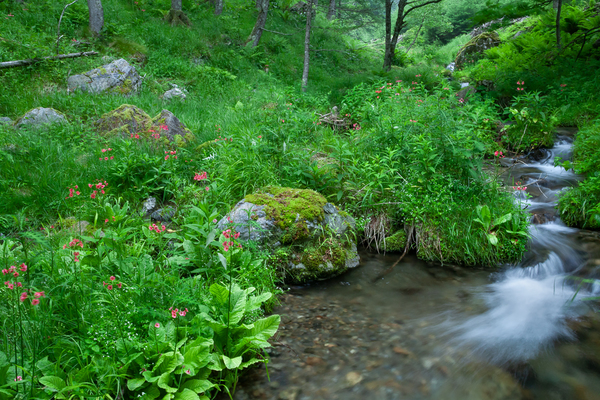 緑の水辺のクリンソウ